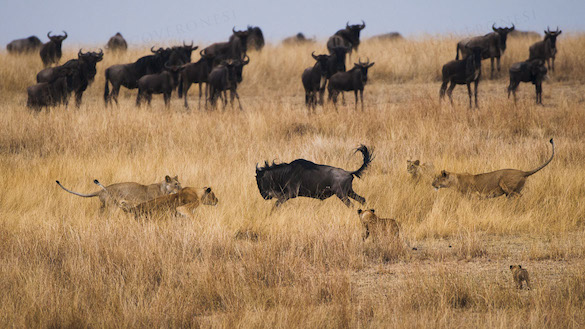 Lions Hunting Wildebeasts
